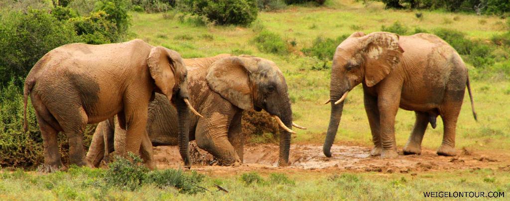 Imposantes Schauspiel im Addo-Elefanten-Nationalpark (Südafrika).